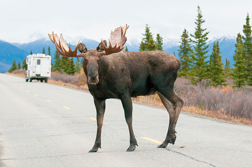 Sensuality「Bull Moose on road with tourist camper.」:スマホ壁紙(6)