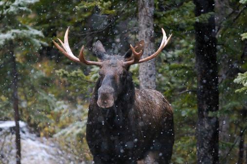 Rutting「Bull Moose in Snow Fall」:スマホ壁紙(13)