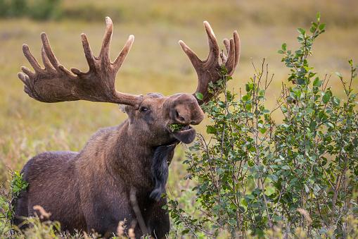 Eating「Bull moose feeds on alder plants」:スマホ壁紙(3)