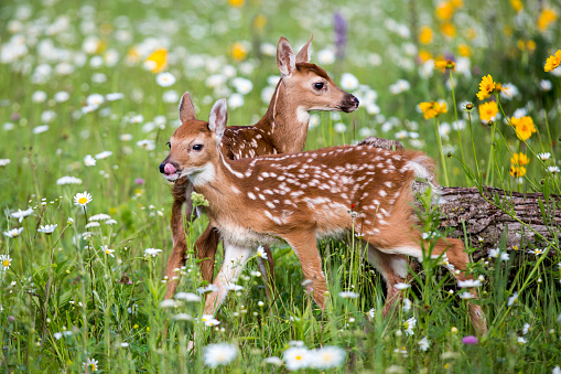 Fawn「Two fawns amongst wildflowers, Sandstone, Minnesota, USA」:スマホ壁紙(8)