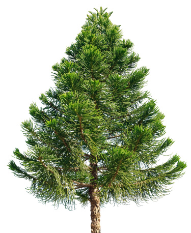 Needle - Plant Part「Araucaria pine tree isolated on white background」:スマホ壁紙(7)