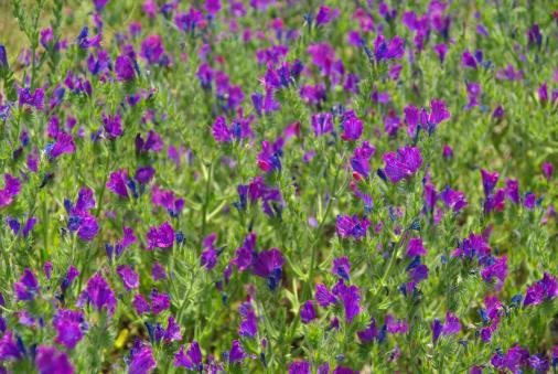 野生動物「Purple Vipers Bugloss」:スマホ壁紙(2)