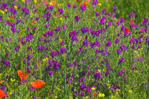 野生動物「Purple Vipers Bugloss」:スマホ壁紙(5)