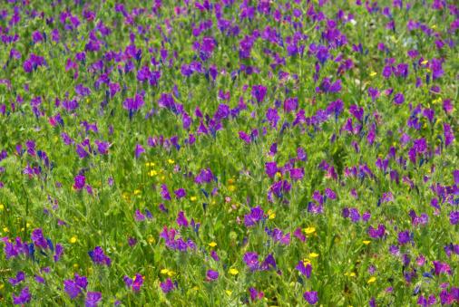 野生動物「Purple Vipers Bugloss」:スマホ壁紙(3)
