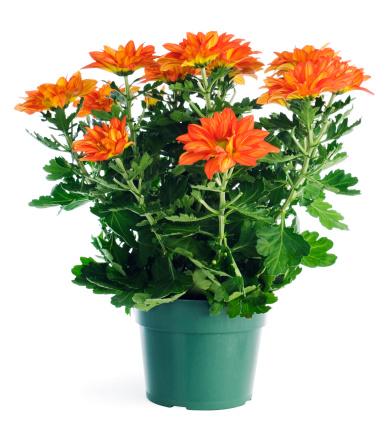 キク科「鉢植えの植物の庭園の菊の保管容器、白で分離」:スマホ壁紙(4)