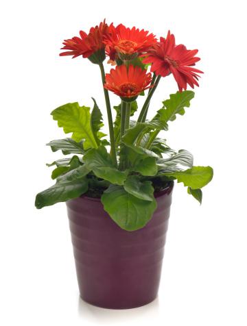 Daisy「Potted Plant Bright Red Gerbera Daisy」:スマホ壁紙(11)