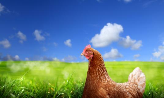 Hen「chicken over green landscape」:スマホ壁紙(18)