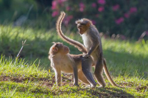 Animals In The Wild「Monkey mating」:スマホ壁紙(5)