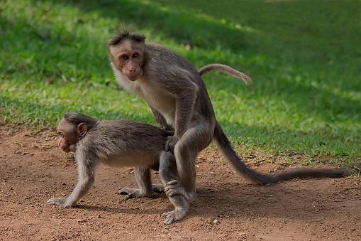 Dethan Punalur「Monkey mating 6」:スマホ壁紙(0)