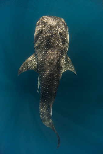 ジンベイザメ「Indonesia, Papua, Cenderawasih Bay, Whale shark」:スマホ壁紙(5)