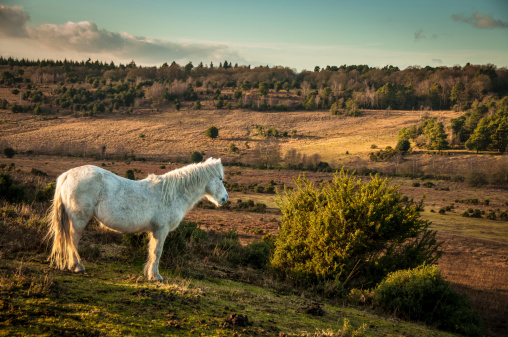 Indigenous Culture「White Wild horse, The New Forest, England」:スマホ壁紙(9)