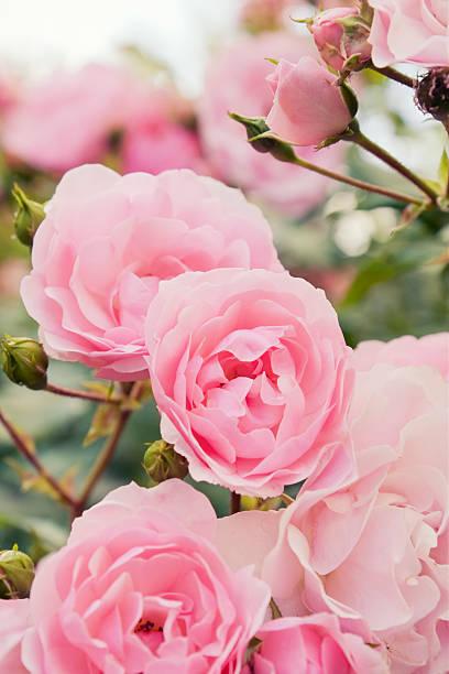 Pink rose bush:スマホ壁紙(壁紙.com)
