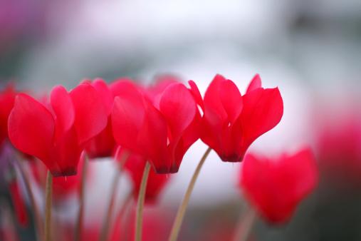 Kamakura City「Cyclamen Flowers」:スマホ壁紙(6)