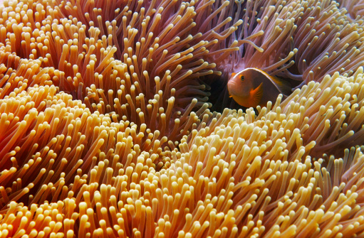 Clownfish「Clownfish Hiding in Anemone」:スマホ壁紙(15)