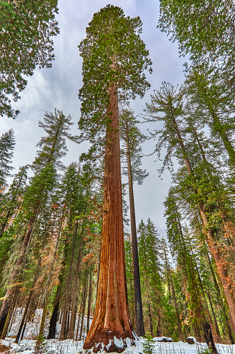 Grove「Giant Sequoia,Mariposa Grove, Yosemite」:スマホ壁紙(2)
