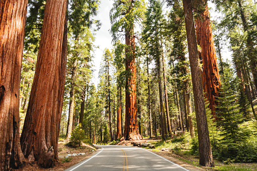Redwood Forest「giant sequoia tree」:スマホ壁紙(2)