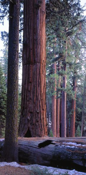 Fallen Tree「Giant sequoia, Robert E. Lee tree and fallen monarch grow side by side. Sequoiadendron gigantea. Robert E. Lee tree, Grant Grove, Sequoia National Park, California.」:スマホ壁紙(4)