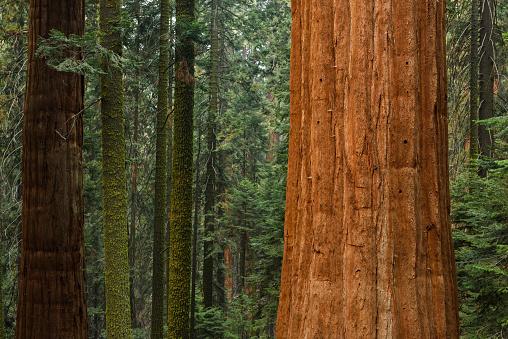 Sequoia Tree「Giant sequoia trees, Sequoia National Park, California, USA」:スマホ壁紙(16)