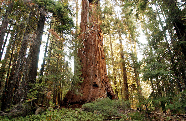 Tree「McNally Fire Threatens Giant Sequoia Trees」:写真・画像(10)[壁紙.com]