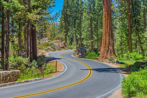 Grove「Giant sequoia trees in Sequoia National Park, California, USA」:スマホ壁紙(19)