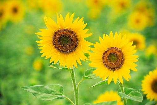 ひまわり「かわいい sunflowers」:スマホ壁紙(0)