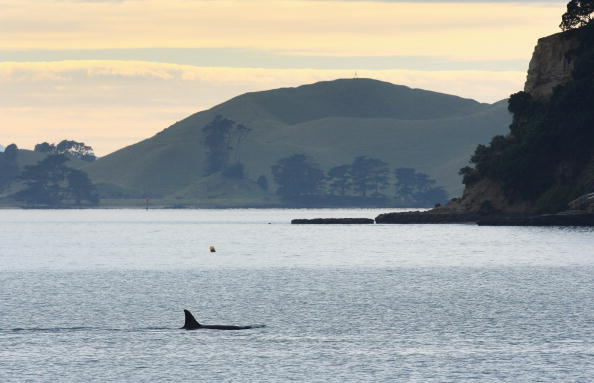 Killer Whale「Orca Whales Off St Heliers Bay In Auckland」:写真・画像(8)[壁紙.com]