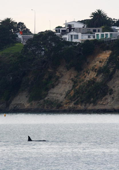 Killer Whale「Orca Whales Off St Heliers Bay In Auckland」:写真・画像(3)[壁紙.com]