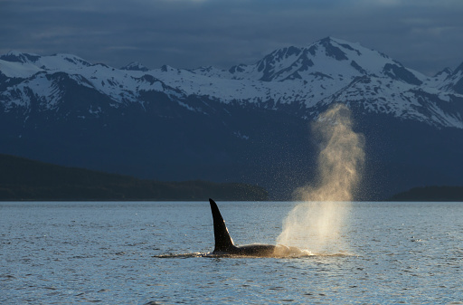 Spraying「An Orca Whale (Orcinus orca), a male indicated by the height of its dorsal fin, surfaces in Lynn Canal on a summer evening, Inside Passage; Alaska, United States of America」:スマホ壁紙(0)