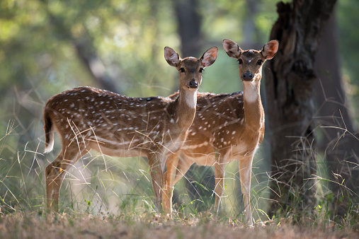 Rajasthan「Chital/spotted deer on alert」:スマホ壁紙(13)
