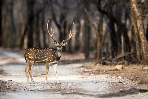 Rajasthan「Chital/spotted deer buck on forest track」:スマホ壁紙(11)