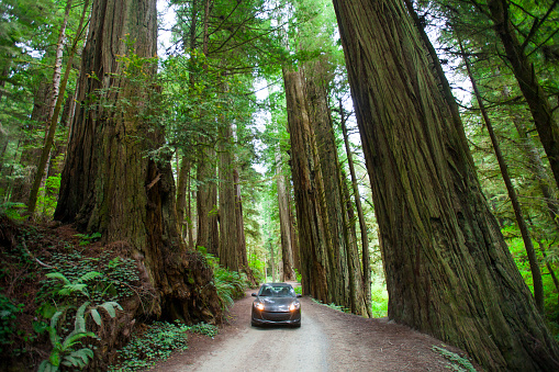 Redwood National Park「A woman takes a picture of a giant Redwood Tree in Jedediah Smith Redwoods State Park.」:スマホ壁紙(5)