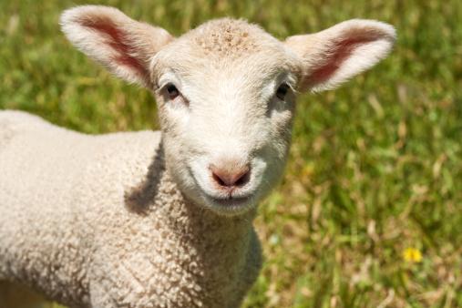 Animal Ear「Lamb Pouting」:スマホ壁紙(9)