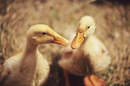 Pemberton「Ducklings Close Up In Barn, Nuzzle Beaks, Pemberton, Bc」:スマホ壁紙(19)