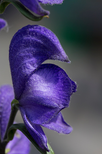 花「Aconite or monkshood; close-up of singlelower」:スマホ壁紙(3)