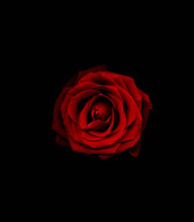 Single Flower「Red rose against black background, close-up」:スマホ壁紙(14)