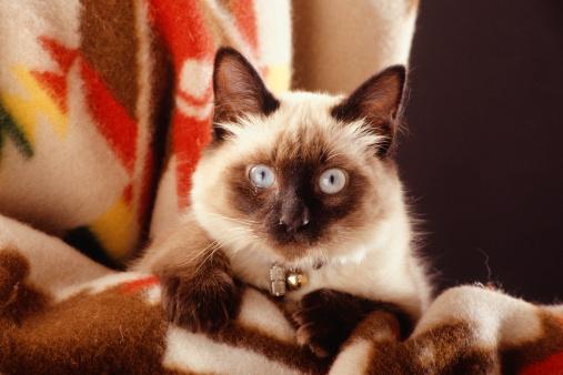 シャムネコ「Siamese cat sitting on blanket, portrait」:スマホ壁紙(13)