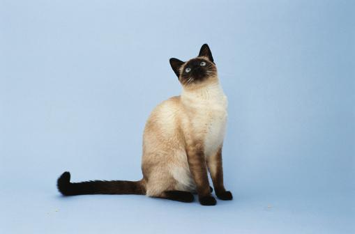 シャムネコ「Siamese Cat」:スマホ壁紙(4)