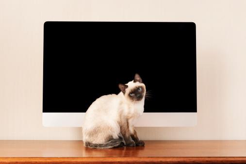 シャムネコ「Siamese cat」:スマホ壁紙(5)