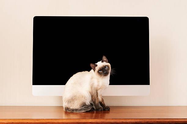 Siamese cat:スマホ壁紙(壁紙.com)