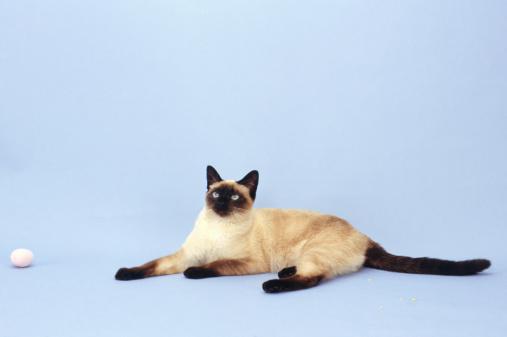 シャムネコ「Siamese cat by ball, (Portrait)」:スマホ壁紙(4)