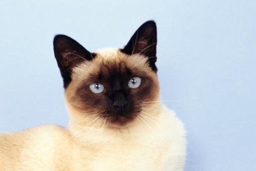 シャムネコ「Siamese cat, (Close-up), (Portrait)」:スマホ壁紙(19)