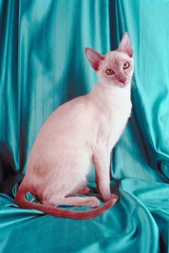 シャムネコ「Siamese cat」:スマホ壁紙(19)
