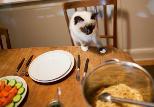 Purebred Cat「Siamese cat on table」:スマホ壁紙(10)