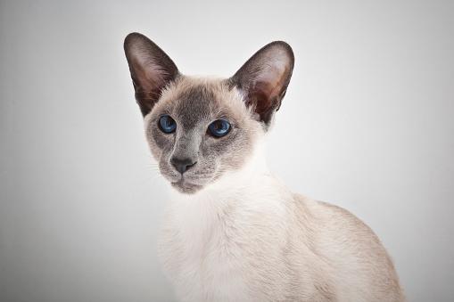 シャムネコ「Siamese cat」:スマホ壁紙(6)