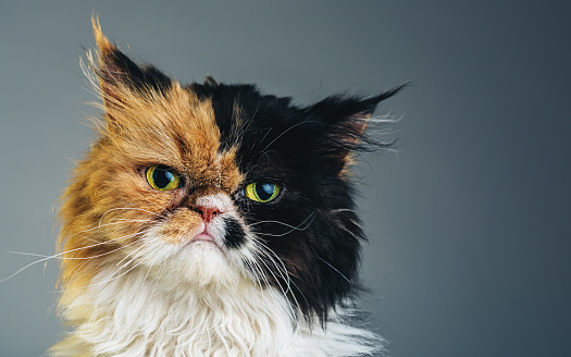 ペルシャネコ「水平、ペルシャ猫のポートレート」:スマホ壁紙(15)