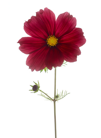 Cosmos Flower「Dark magenta cosmos flower with bud on white.」:スマホ壁紙(10)