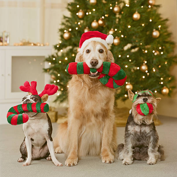 Three dog holding candy cane in mouth, close-up:スマホ壁紙(壁紙.com)