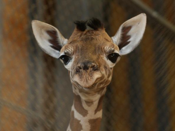 Giraffe「Baby Giraffe Born In Himeji Central Park」:写真・画像(7)[壁紙.com]