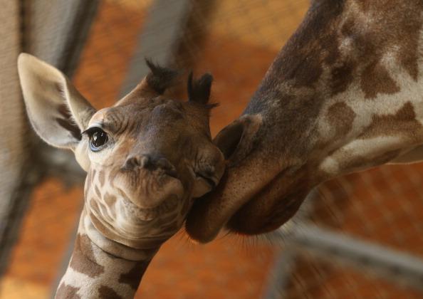 Giraffe「Baby Giraffe Born In Himeji Central Park」:写真・画像(2)[壁紙.com]