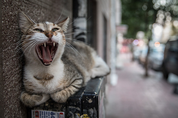 Yawning「The Cats Of Istanbul」:写真・画像(3)[壁紙.com]